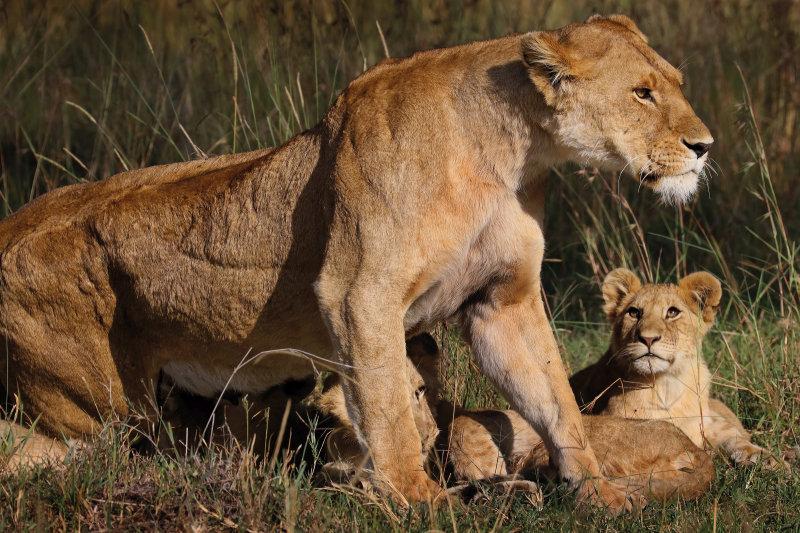 Tanzania - leeuwen