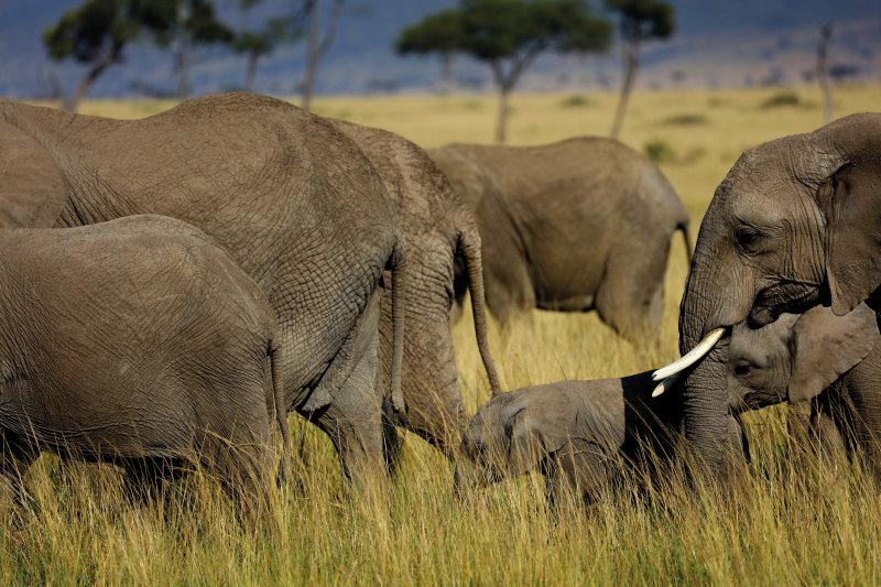 Tanzania - olifanten