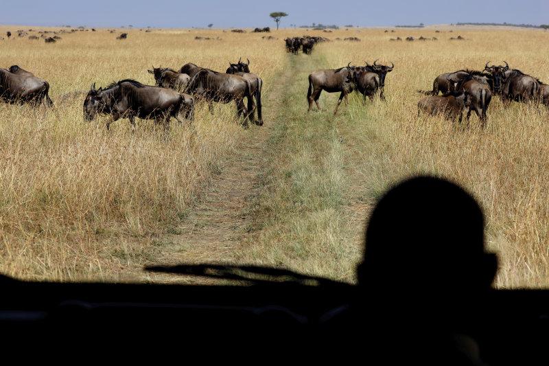 Tanzania - trekkenden kuddedieren - Gnoes