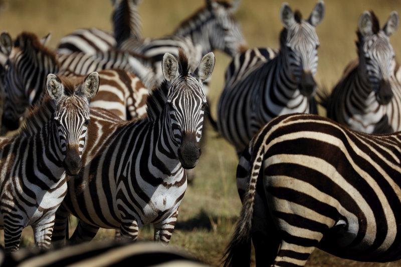 Tanzania - zebra kudde