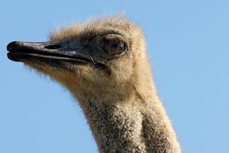 Zuid-Afrika voor levensgenieters - Struisvogel