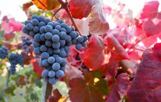 Emilia-Romagna - 2 tot 6 september 2019 - wijndruiven - Italië
