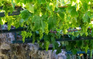 Riviercruise op de Douro - wijndruiven - Portugal