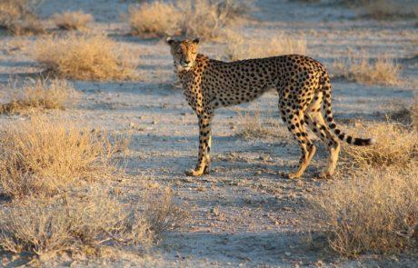 Namibië, de favoriete bestemming van collega Dominique - jachtluipaard