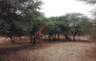 Ontdek Senegal met het gezin - giraf
