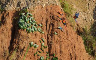 Rondreis Peru - Parrot Clay Lick