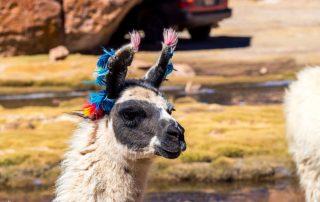 Rondreis Bolivië – Land van uitersten - lama