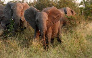 Rondreis Zuid-Afrika - Olifanten in het Sabi Sands Private Game Reserve