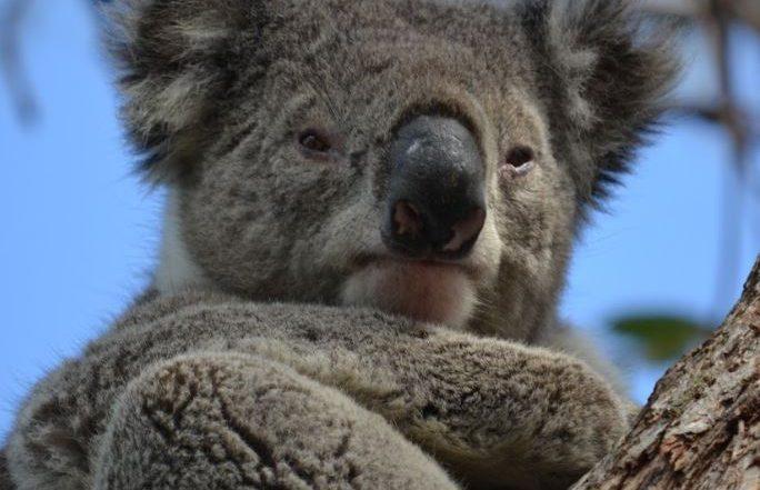 Australië, de favoriete bestemming van collega Valentijn - koala