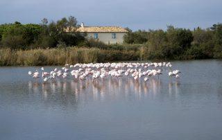 Rondreis Frankrijk - flamingo's - Camargue
