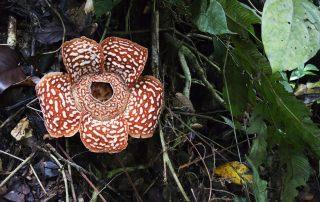 Rondreis Maleisië - Rafflesiabloem - Maleisië