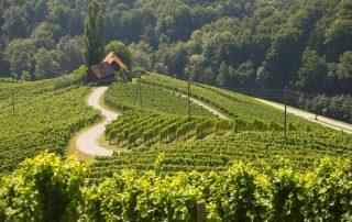 Rondreis Slovenië - wijngaarden - Maribor