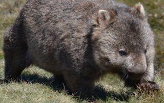Australië, de favoriete bestemming van collega Valentijn - wombat