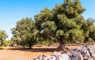 Rondreis Puglia met culturele stop in Matera - olijfbomen - Fasano