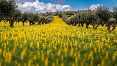 Rondreis Alentejo - olijfboom