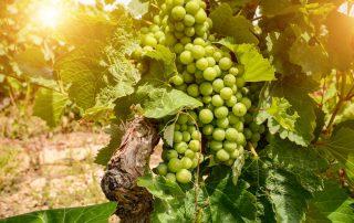 Rondreis Alentejo - wijngaarden