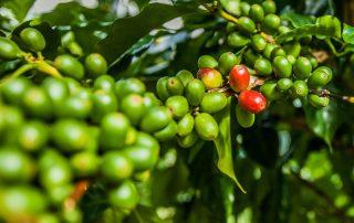 Rondreis Jamaica – Relaxen in de Caraïben - Jamaicaanse koffiebonen van de Blue Mountains
