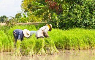 Rondreis Thailand - rijstvelden