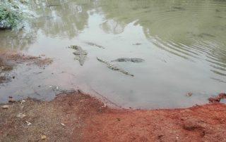 Senegal - Krokodillen in het Réserve de Bandia