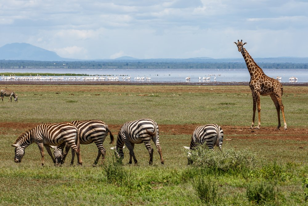 Rondreis Tanzania - Lake Manyara National Park - zebra's en giraf