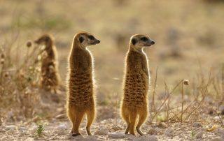 Rondreis Botswana - Kalahari - stokstaartjes
