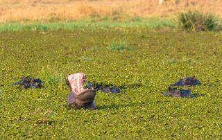 Khwai Private Concession - nijlpaarden
