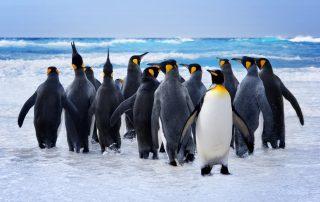 Falklandeilanden - koningspinguïn