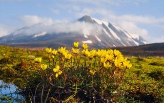 Expeditiecruises - Spitsbergen - bloemen