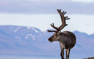 Expeditiecruises - Spitsbergen - rendier