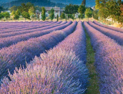 Lavendel en kruiden in de Provence, 6 dagen met Anne Vandenborre