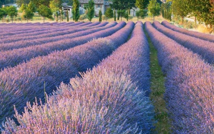 Tuinreizen 2020 - Lavendel en kruiden in de Provence